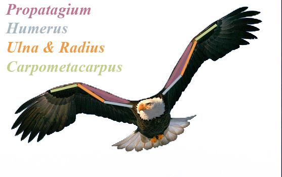 northern goshawk in flight