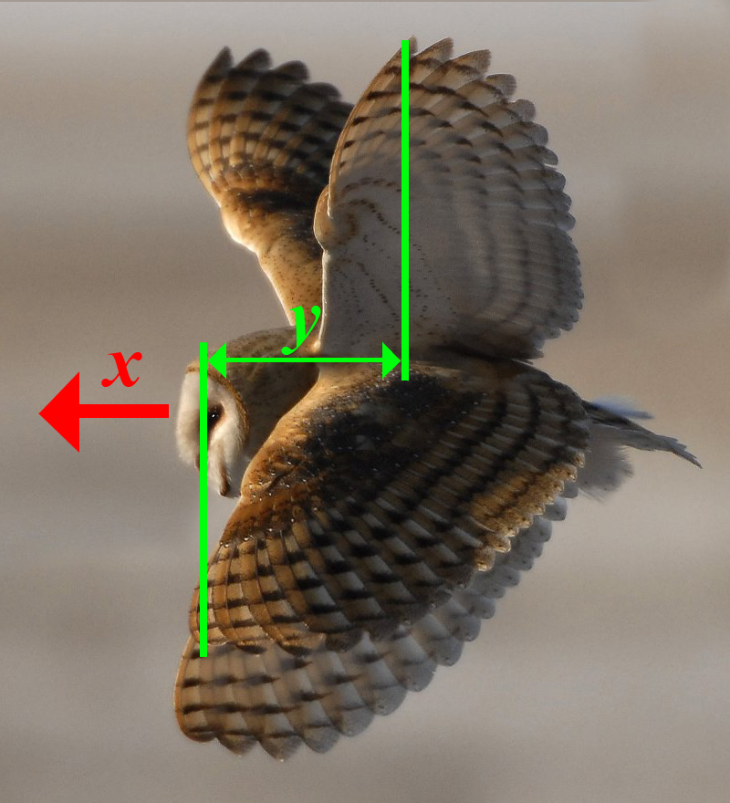 in this diagram i have composited the the up and down wing positions of  this barn owl  if we imagine that in the time between these images the body  of the